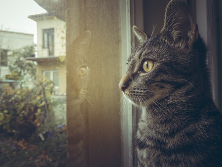 Side face of a grey tabby European cat looking through the window.