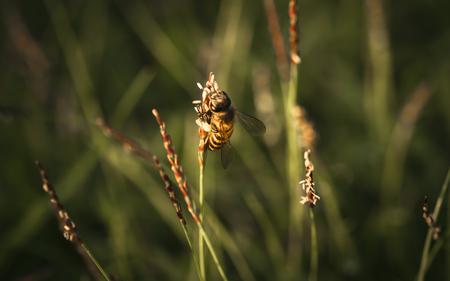 Bee labor is collecting pollen in yellow grass garden