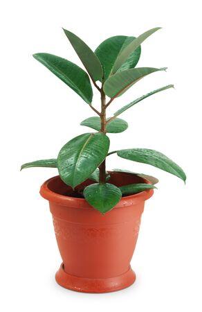 Houseplant ficus on white background