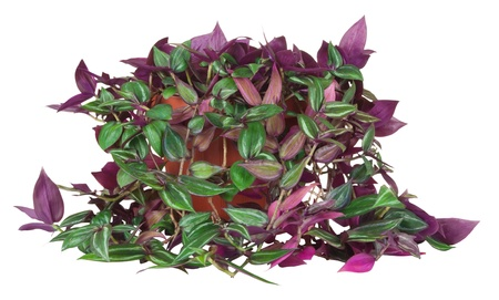 houseplant tradescantia isolated on white