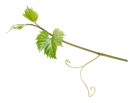 Branch of grape vine isolated on white background