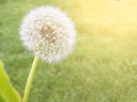 wish: Dandelion on blurred green a effect sunlight