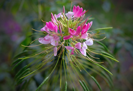 Floral background - Spider Flowers Cleome Hassleriana