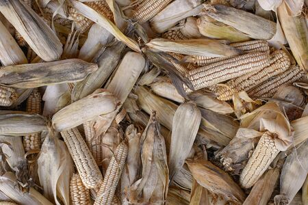 collected: collected a bunch dry corn