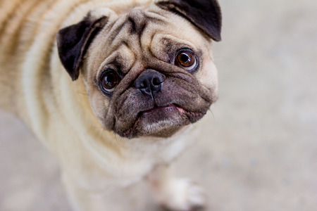 standing pug dog is looking for food