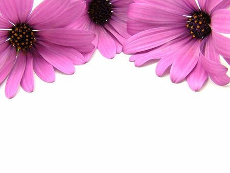 Three purple daisy flowers over white background. Stock Photo