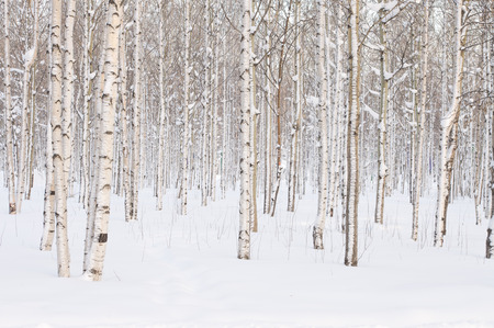 winter trees: Trees in the park or the woods in winter snow Stock Photo