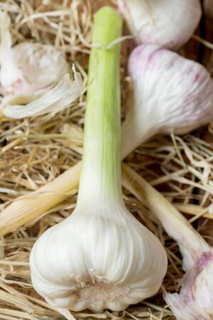 bulb and stem vegetables: Fresh bulbs of garlic on the old dry garlic