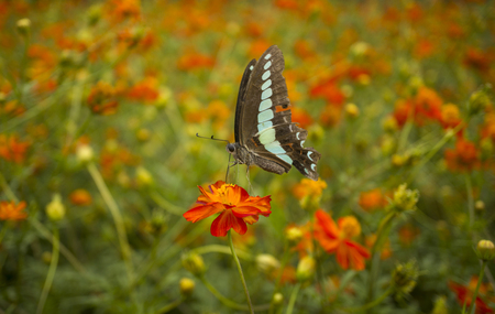 A graphium sarpedon, commonly known as the Common Bluebottle or Blue Triangle butterfly, feeding on an orange flower