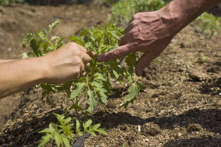 facilitate: Manually pruning small tomato plants to facilitate growth.