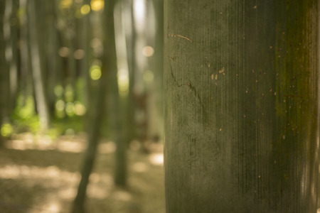 Bamboo forest background with shallow focus