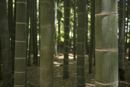 Green stems in a shadowy bamboo forest Stock Photo