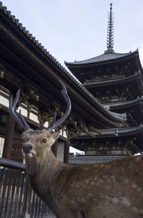 Free roaming deer in front of a temple at Nara Park, Japan.
