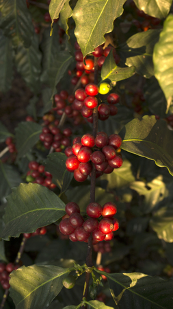 Branch of coffee beans in an organic plantation Stock Photo
