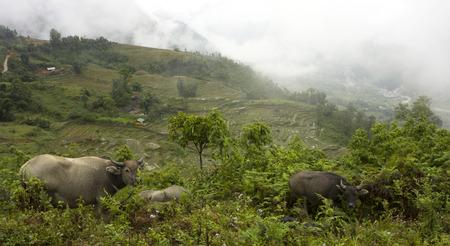 Asian water buffalos in rice terraced paddy fields at Sa Pa, Northern Vietnam Stock Photo