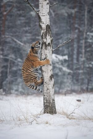 The Siberian Tiger, Panthera tigris tigris is climbing on a tree, in the background with snowy trees, winter picture Stock Photo