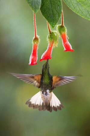 The Hummingbird is hovering and drinking the nectar from the beautiful red flower in the rain forest. Flying Buff-tailed Coronet, Boissonneaua flavescens with nice colorful background.