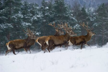 The Red Deer, Cervus elaphus running in the snow, in typical winter environment, majestic animal proudly wearing his antlers, sparkle in the eye, the herd of Red Deers in the snowy forest
