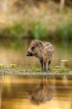 The Wild Boar piglet, sus scrofa is standing in the shoreline of a pond in the golden light of sunset. The Piglet is mirroring in the golden surface of the pond.