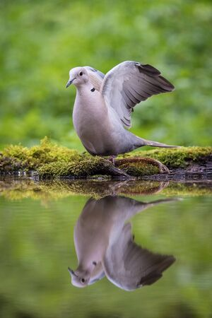 The Eurasian Collared Dove or Streptopelia decaocto is sitting at the waterhole in the forest Reflecting on the surface Preparing for the bath Colorful backgound with some flower