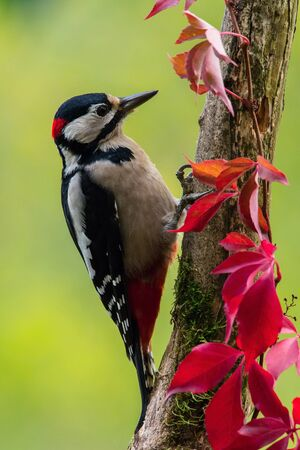 The Great Spotted Woodpecker, Dendrocopos major is sitting on the branch of tree, somewhere in the forest, colorful background and nice soft light Foto de archivo