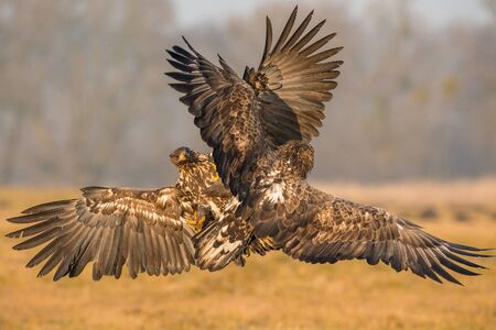 The White-tailed Eagles, Haliaeetus albicilla are fighting in autumn color environment of wildlife. Also known as the Ern, Erne, Gray Eagle, Eurasian Sea Eagle. They threaten with its claws.