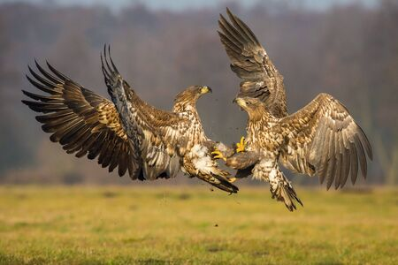 The White-tailed Eagles, Haliaeetus albicilla are fighting in autumn color environment of wildlife. Also known as the Ern, Erne, Gray Eagle, Eurasian Sea Eagle. They threaten with its claws. Stockfoto