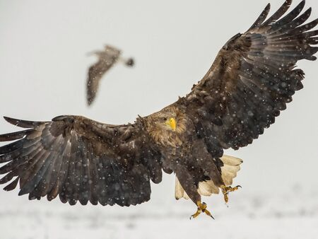 The White-tailed Eagle, Haliaeetus albicilla is sitting in winter environment of wildlife. Also known as the Ern, Erne, Gray Eagle, Eurasian Sea Eagle. Snowy picture.