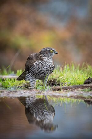 The Eurasian Sparrowhawk, accipiter nisus is bathing in forest waterhole in beautiful colorful autumn environment. Pretty colorful contrasting backround with nice bokeh, clear mirroring reflection
