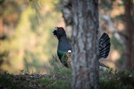 The Western Capercaillie Tetrao urogallus also known as the Wood Grouse Heather Cock or just Capercaillie in the forest is showing off during their lekking season They are in the typical habitat 写真素材