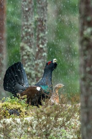 The Western Capercaillie, Tetrao urogallus, also known as the Wood Grouse, Heather Cock, or just Capercaillie in the forest, is showing off during their lekking season. They are in the typical habitat 写真素材