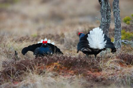 The Black Grouse, Lyrurus tetrix is showing off during their lekking season. They are in the typical moss habitat, Sweden 写真素材