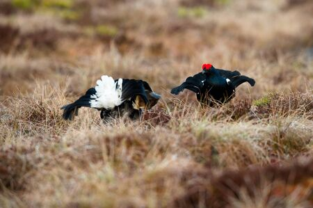 The Black Grouse, Lyrurus tetrix is showing off during their lekking season. They are in the typical moss habitat, Sweden