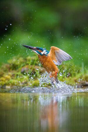 Le Martin-pêcheur d'Amérique plongeant, alcedo atthis vole avec sa proie sur fond vert. Le martin-pêcheur vient d'attraper sa proie. Fond coloré. Moment incroyable. Oiseau volant joyau de nos rivières. Banque d'images