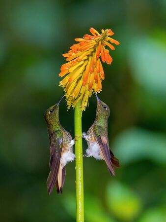 Two Hummingbirds are sitting and drinking the nectar from the beautiful red flower in the rain forest. Flying Buff-tailed Coronet, Boissonneaua flavescens with nice colorful background. Stock Photo