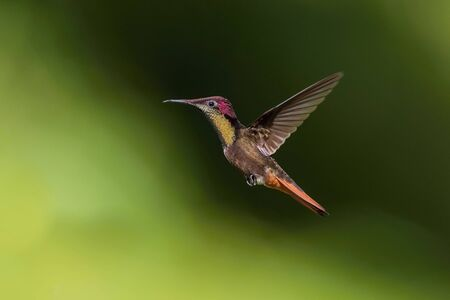 The Ruby-topaz Hummingbird, Chrysolampis mosquitus is flying in nice green background, Trinidad and Tobago