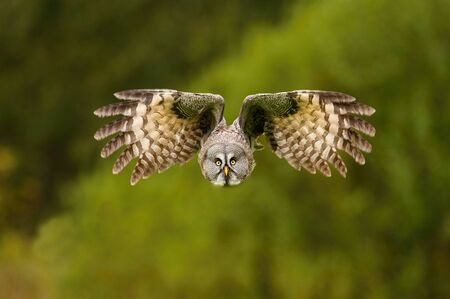 Strix nebulosa, Great grey owl The bird is flying in nice natural environment of Finland. Wildlife scene from Europe. Stock Photo