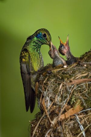 Colibri thalassinus, Mexican violetear The Hummingbird is feeding the chicks at the nest in the rain forest. Costa Rica