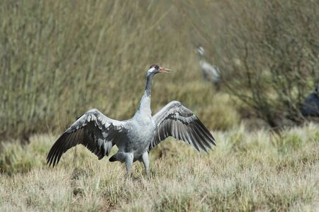 The Common Crane, Grus grus is dancing in the typical environment near the Lake Hornborga, Sweden