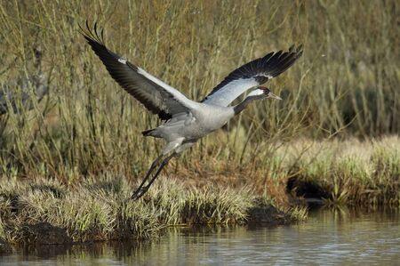 The Common Crane, Grus grus is flying in the typical environment near the Lake Hornborga, Sweden