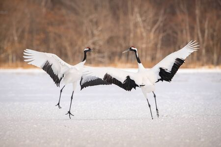 The Red-crowned crane, Grus japonensis The crane is dancing in beautiful artick winter environment Japan Hokkaido Wildlife scene from Asia nature.