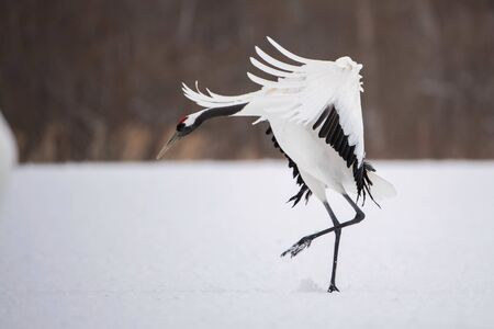 The Red-crowned crane, Grus japonensis The crane is dancing in beautiful artick winter environment Japan Hokkaido Wildlife scene from Asia nature. Stock Photo
