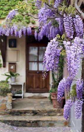 프랑스 마을 : 보라색 등나무 덩굴 꽃