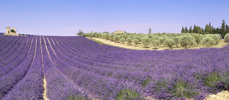 France, landscape of Provence: lavender fields and olive trees