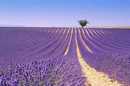 France, landscape of Provence: lavender field