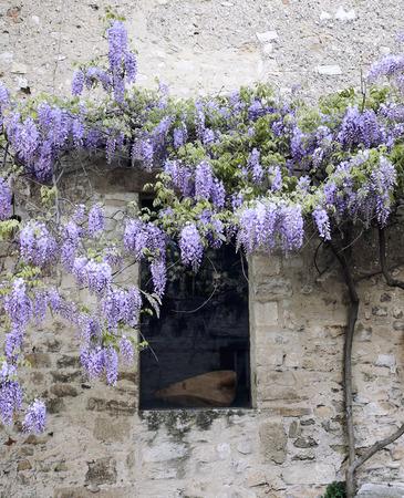 오래된 집과 꽃 보라색 등나무 덩굴