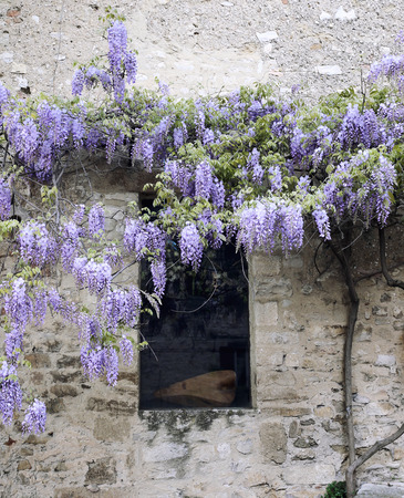 Old house and flowering purple wisteria vines