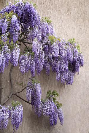wistaria: Cascading purple wisteria blossoms Stock Photo