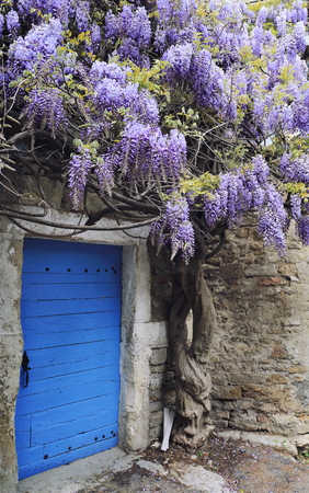 Fowering wisteria vines Stock Photo