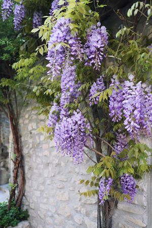 cascading: Cascading purple wisteria blossoms Stock Photo